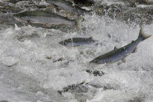 Buy organic Salmon.jpg