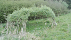 Living Willow Dome in Progress