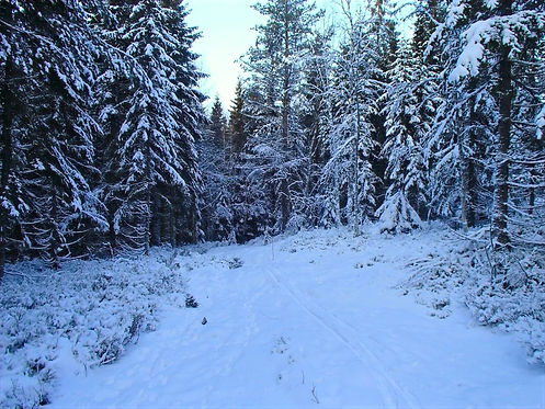 Forest around oslo in the winter