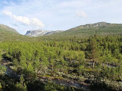 Forests in jotunheimen