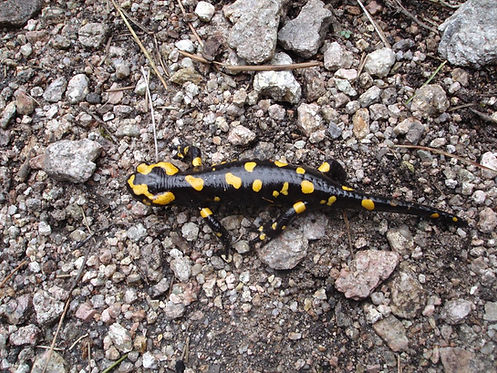 Black with yellow salamander
