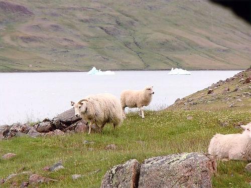 greenlandic sheep