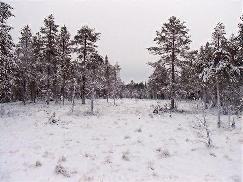 norwegian forest in winter
