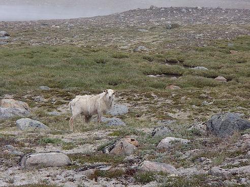 wild sheep in greenland