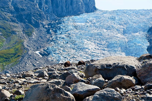 musk ox in front of a glacier