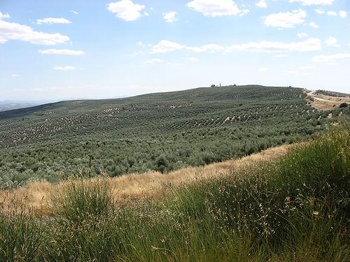 spanis olives