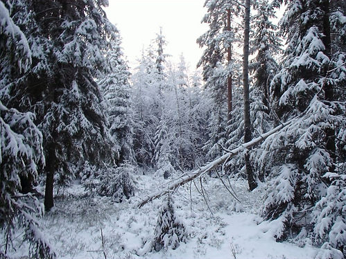 winter forest in norway