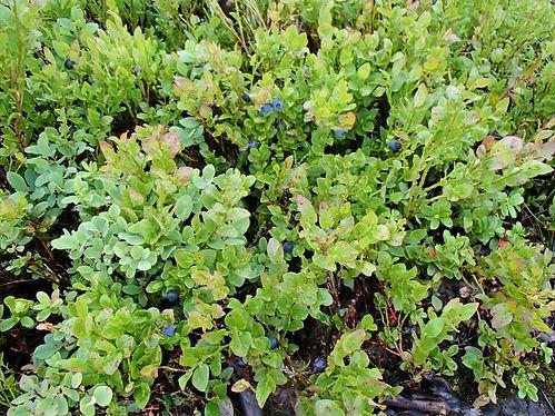 blueberries in jotunheimen