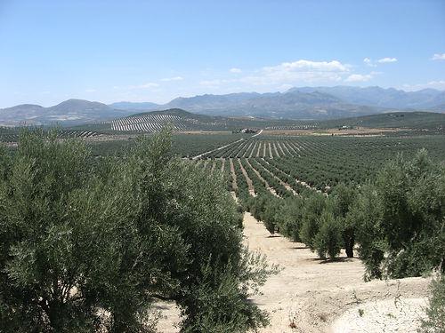 Spanish olive trees