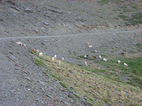 Spain mountain goats