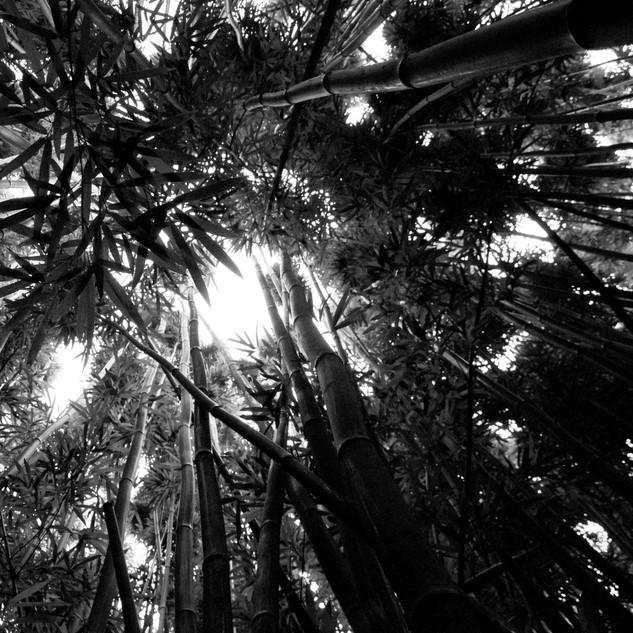 bambu5.jpg