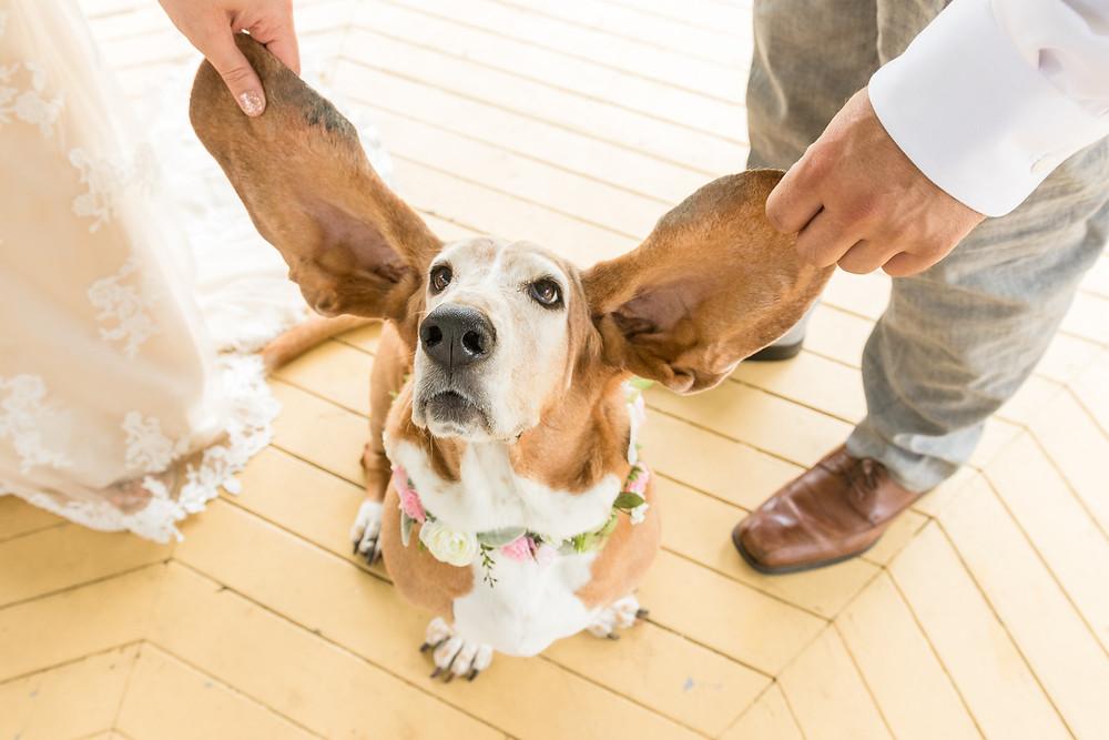 wedding basset hound ears