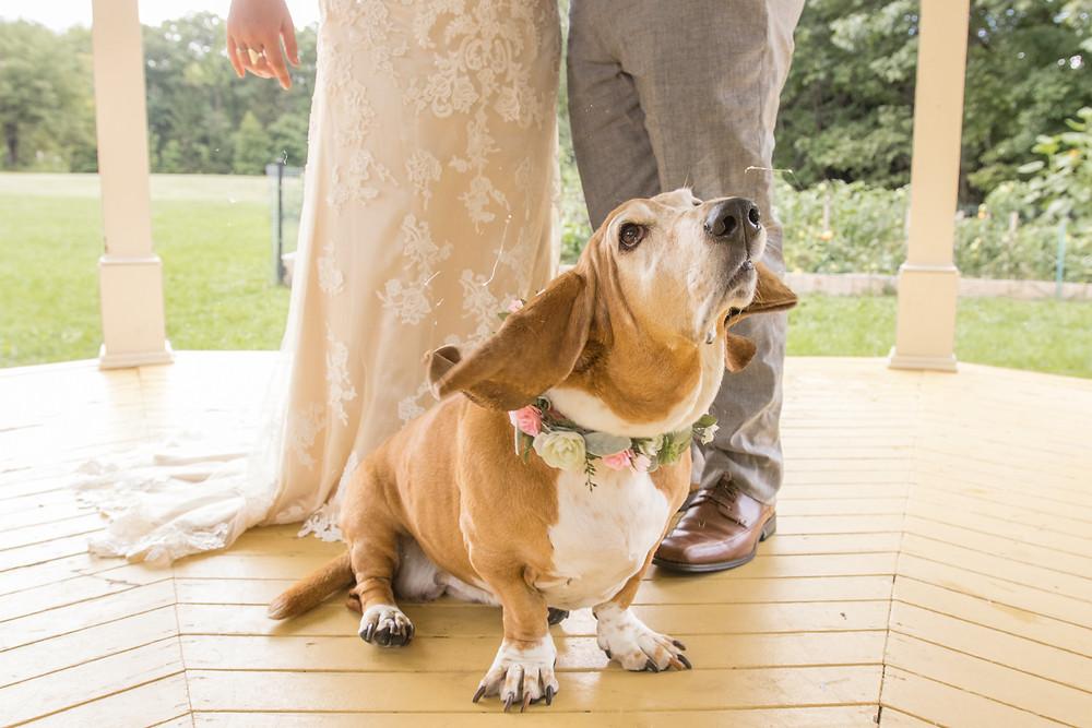 wedding basset hound