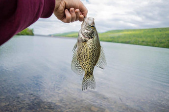 Holding a crappie