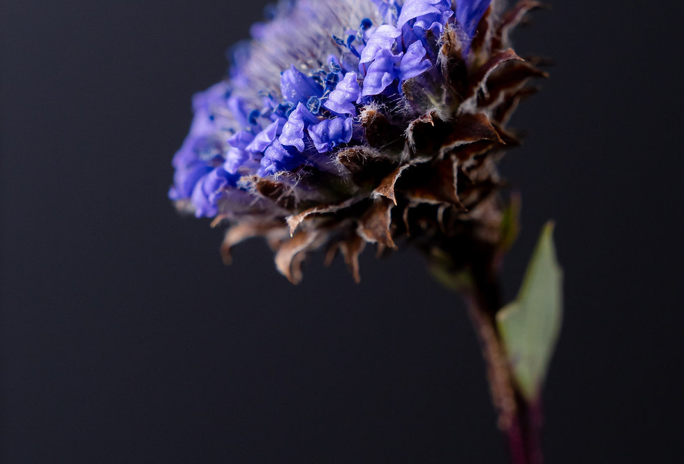 Globularia alypum (Globe daisy)