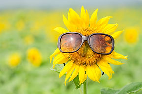 Sunflower wearing sunglasses .jpg