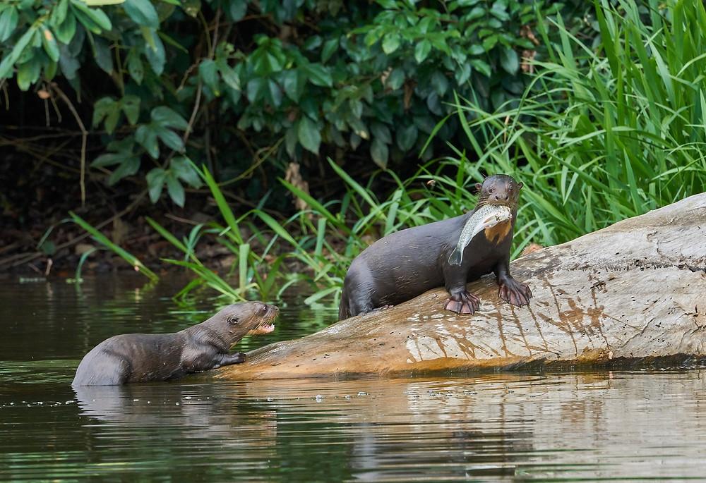 Giant otters on Cocha Cashu, Manu National Park. Photo: Jessica Groenendijk