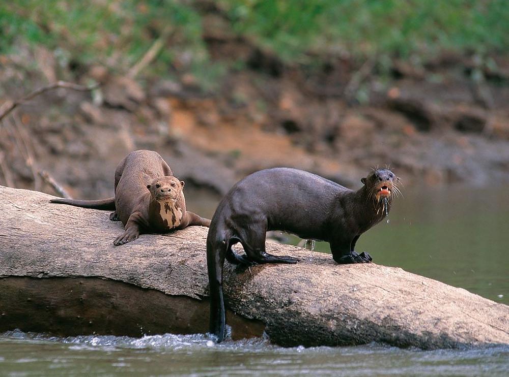 A pair of giant otters, Manu National Park, Peru. Photo: Frank Hajek