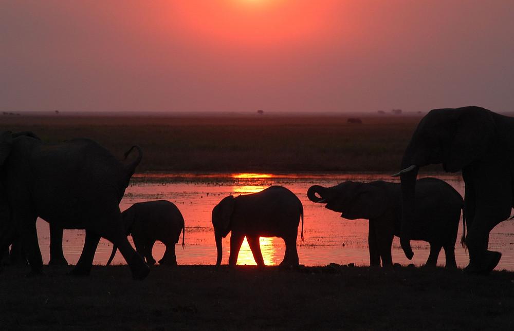 Elephants at dusk, Chobe National Park, Botswana. Photo: Jessica Groenendijk