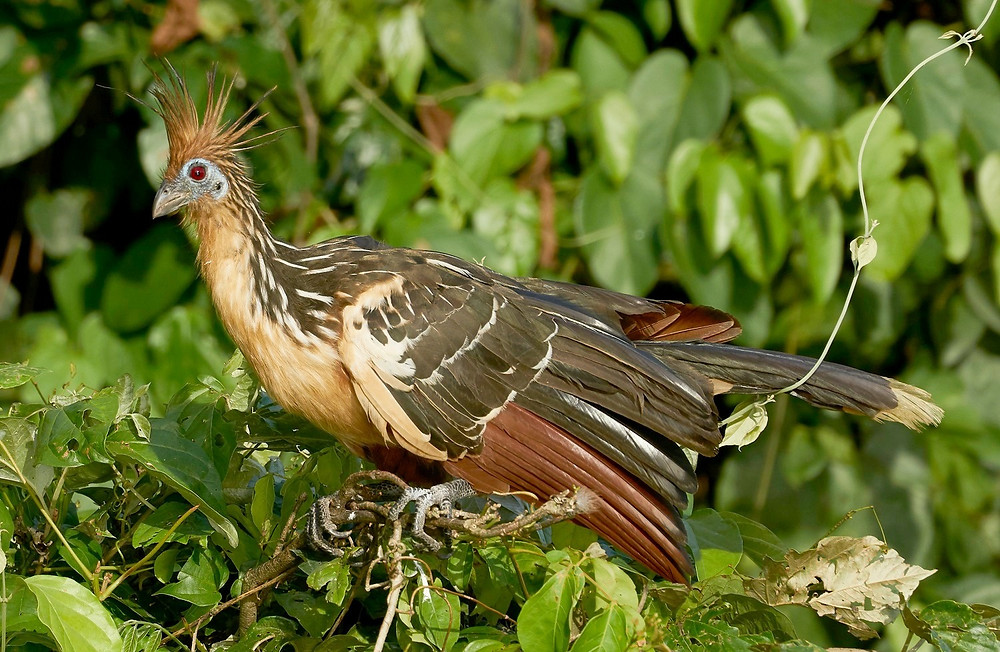Hoatzin, Manu National Park, Peru. Photo: Jessica Groenendijk, Words from the Wild