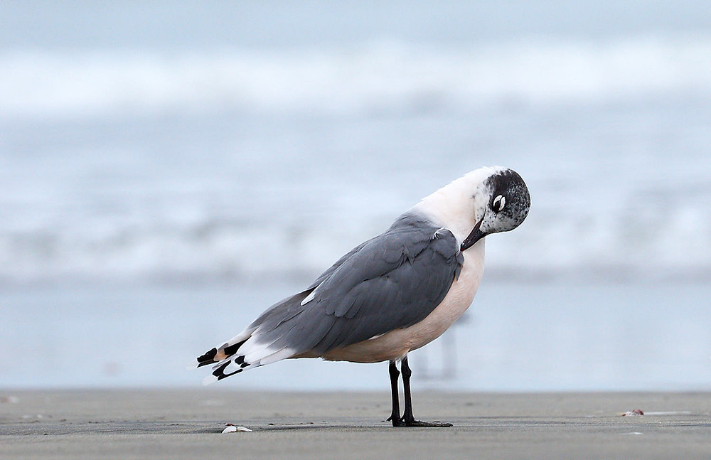 Franklin's gull preening, Paracas National Reserve, Peru. Photo: Jessica Groenendijk