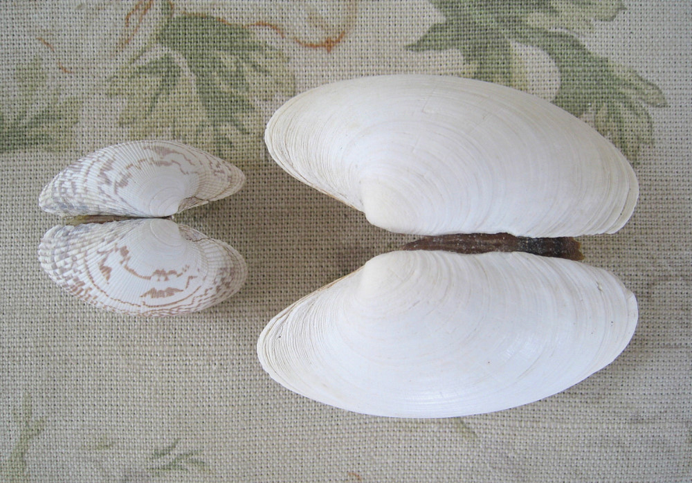 Clam shells. Photo: Jessica Groenendijk, Words from the Wild
