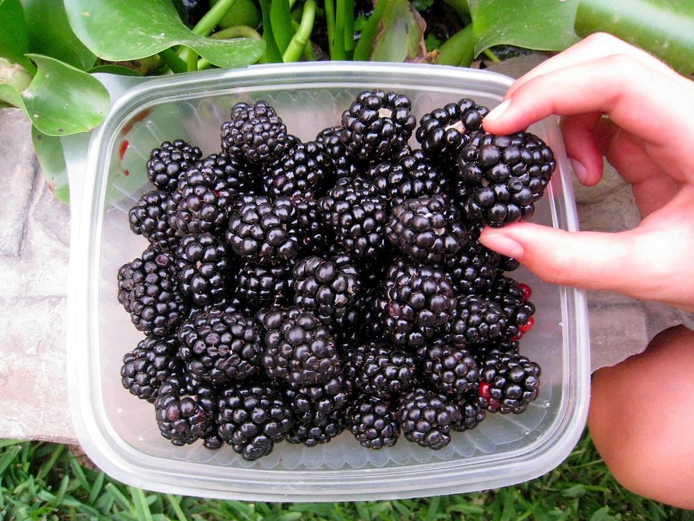 Blackberries! Photo: Jessica Groenendijk, Words from the Wild