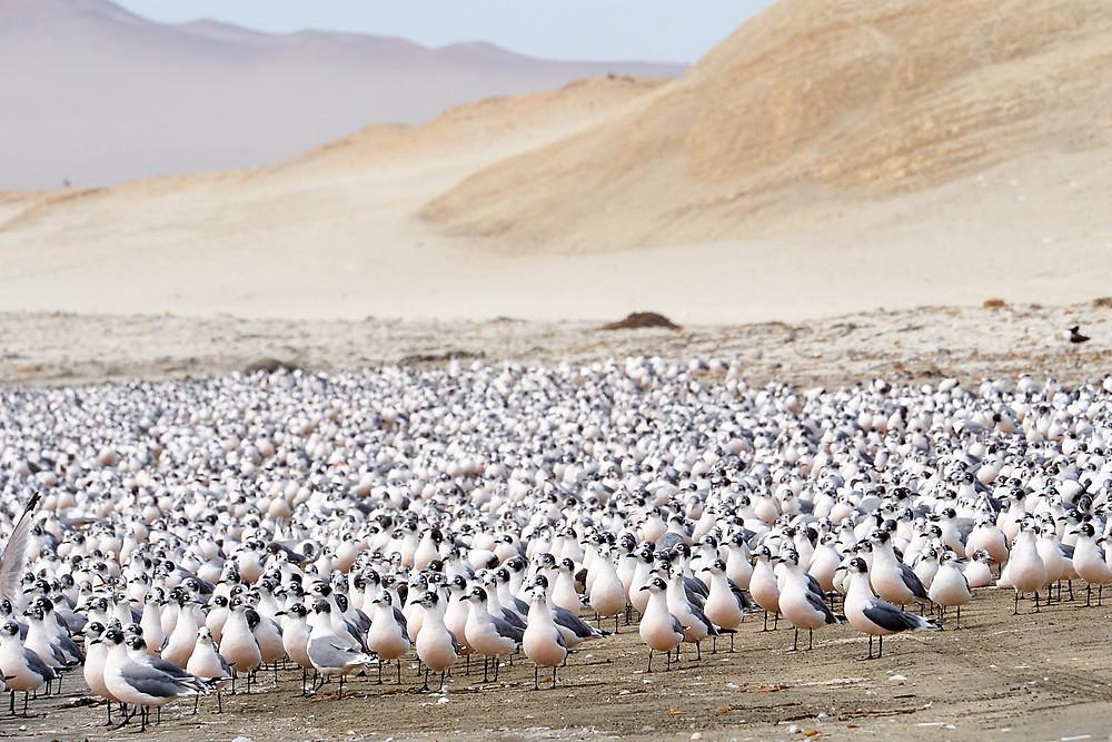 Gaviotas de Franklin, Reserva Nacional Paracas, Peru. Foto: Jessica Groenendijk