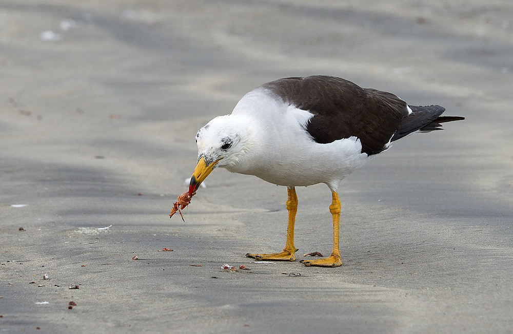 Belcher's gull, Paracas National Reserve, Peru. Photo: Jessica Groenendijk