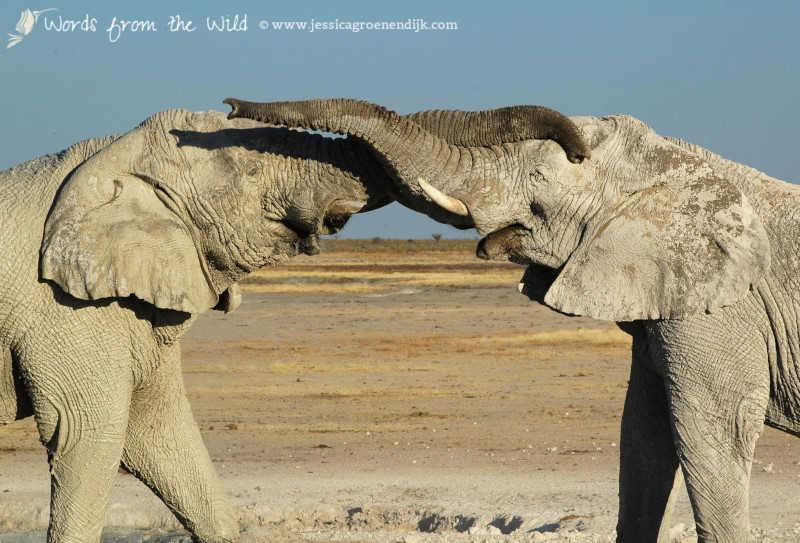 Elephants in Etosha National Park, Namibia. Photo: Jessica Groenendijk