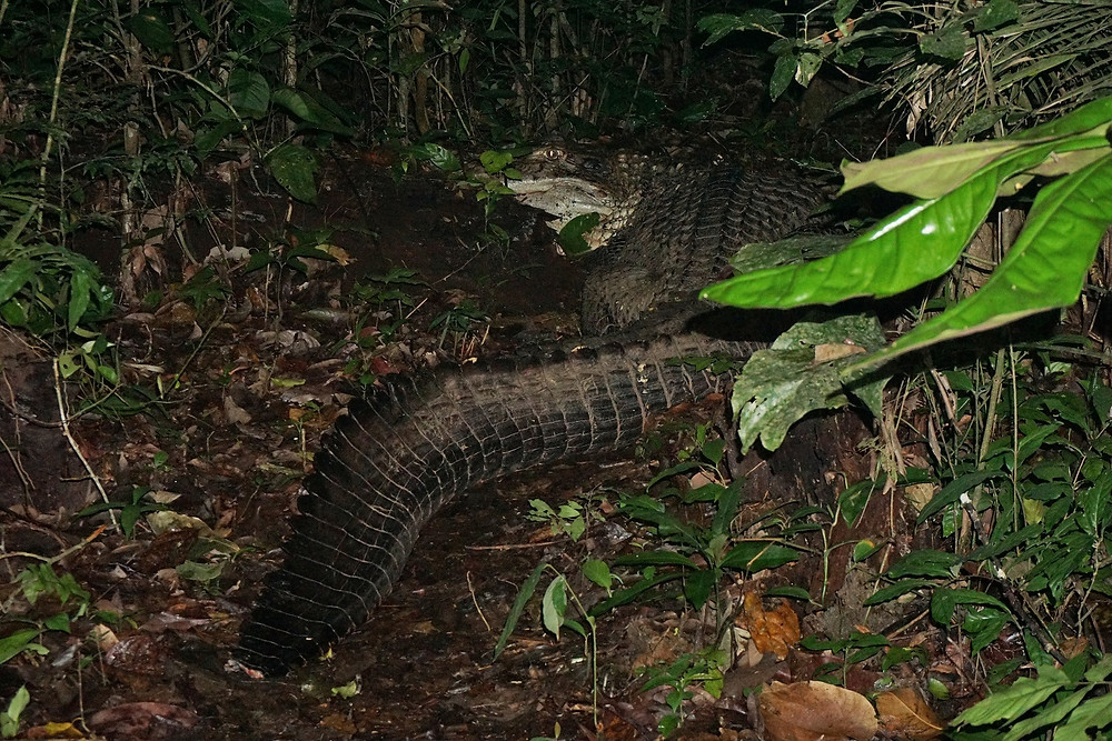 Black caiman, Cocha Cashu, Manu National Park, Peru. Photo: Jessica Groenendijk, Words from the Wild