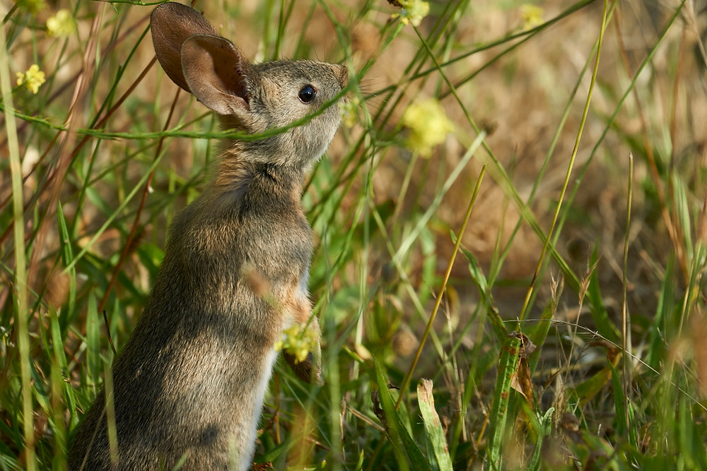 Young rabbit, Montana de Oro State Park, California. Photo: Jessica Groenendijk, Words from the Wild