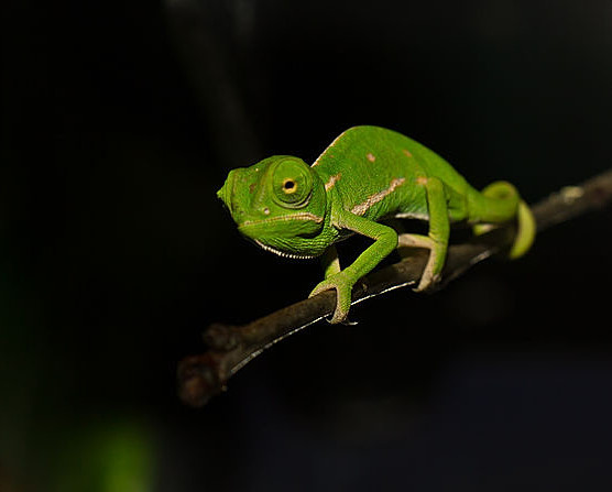Baby chameleon, by Angouyg (Own work) [CC BY-SA 3.0 (http://creativecommons.org/licenses/by-sa/3.0)], via Wikimedia Commons