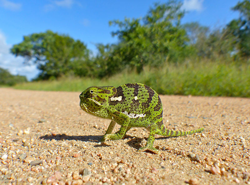 Flap-necked chameleon, by Bernard DUPONT from FRANCE (Flap-neck Chameleon (Chamaeleo dilepis) juvenile) [CC BY-SA 2.0 (http://creativecommons.org/licenses/by-sa/2.0)], via Wikimedia Commons