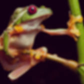 Tree frogs, Robin Moore