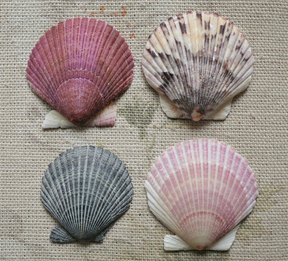 Scallop shells. Photo: Jessica Groenendijk, Words from the Wild
