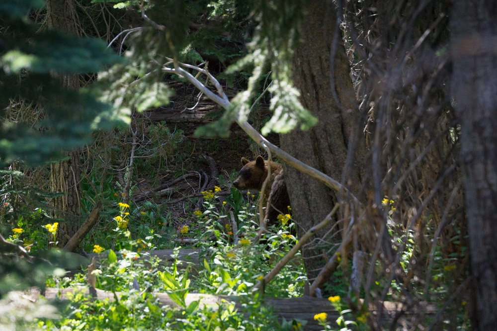 Black bear, Yosemite National Park. Photo: Jessica Groenendijk