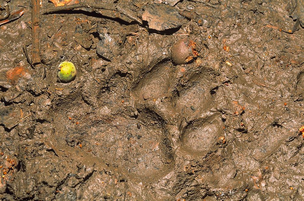 Jaguar track, Manu National Park, Peru. Photo: Jessica Groenendijk