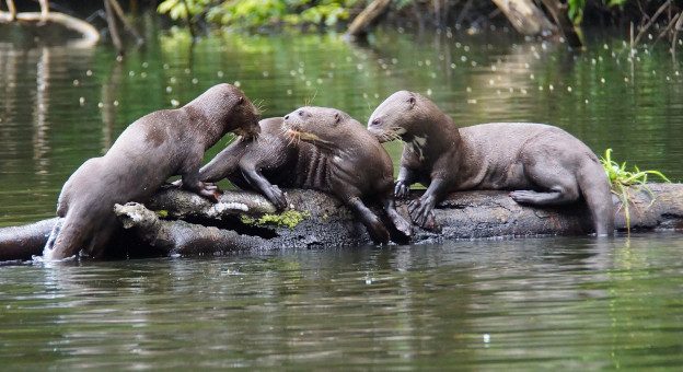 The endangered giant otter. Photo: Jessica Groenendijk, Words from the Wild