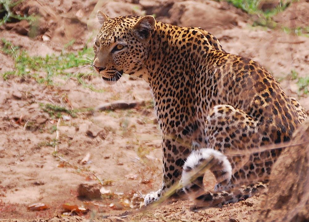 Leopard. Photo: Carlos Hajek