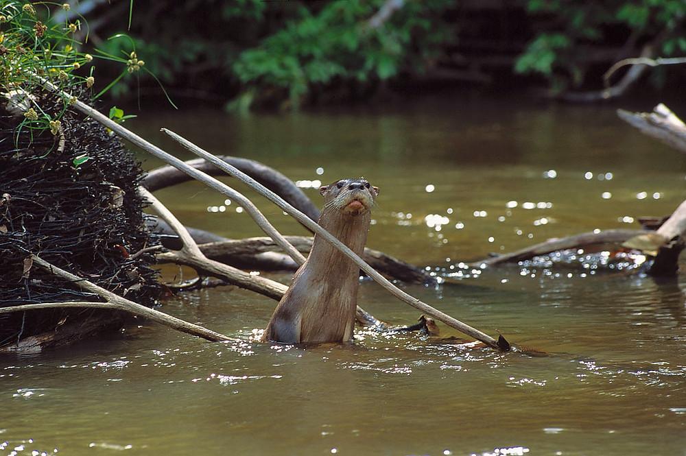 Neotropical otter, Manu National Park, Peru. Photo: Frank Hajek