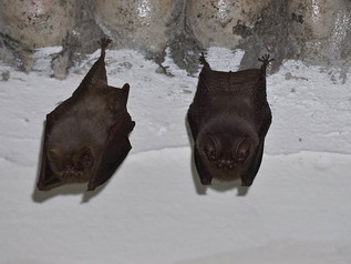 Bats in My Belfry