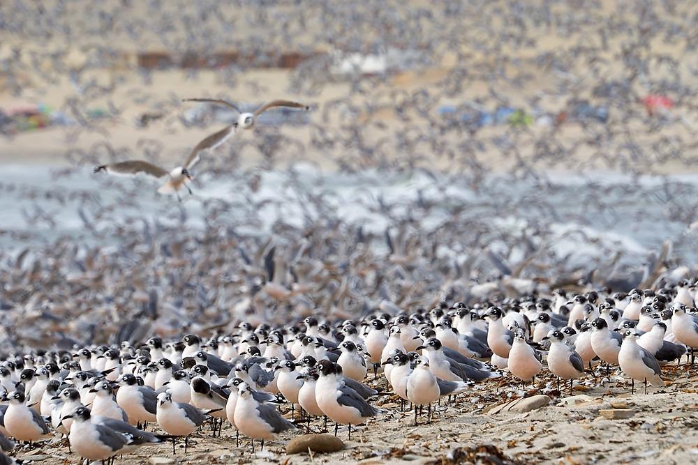 Franklin's gulls, Paracas National Reserve, Peru. Photo: Jessica Groenendijk