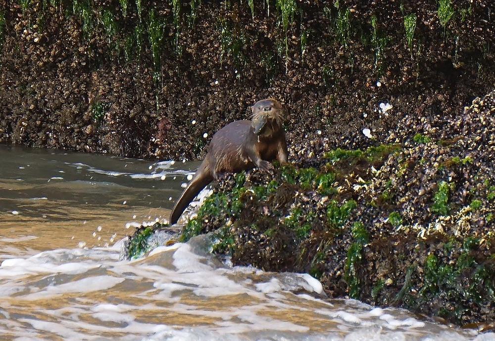 Marine otter (Lontra felina) with fish, Peru. Photo: Jessica Groenendijk