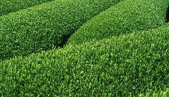 緑茶生産者
