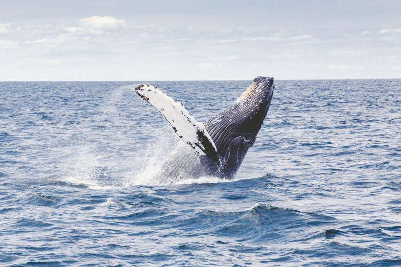 Seasonal Humpback Whales