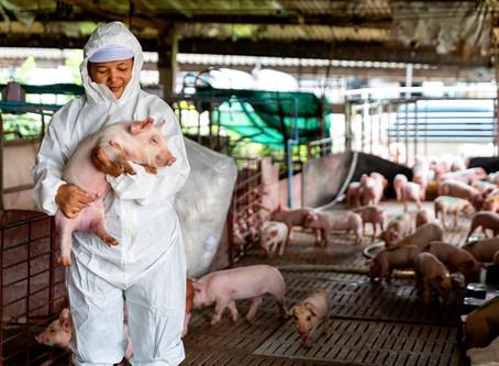 Mercado interno de suínos segue em recuperação