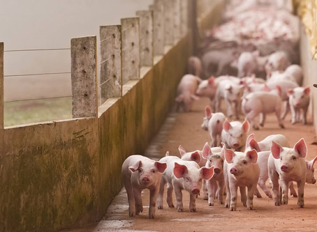 O que a produção baseada em dados tem a ver com os recordes de abate e exportação na suinocultura?