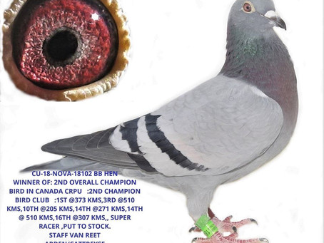 2ND CANADIAN CHAMPION BIRD OF CANADA FOR SALE