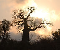 47. Baobab tree at sunset - Kruger.jpg